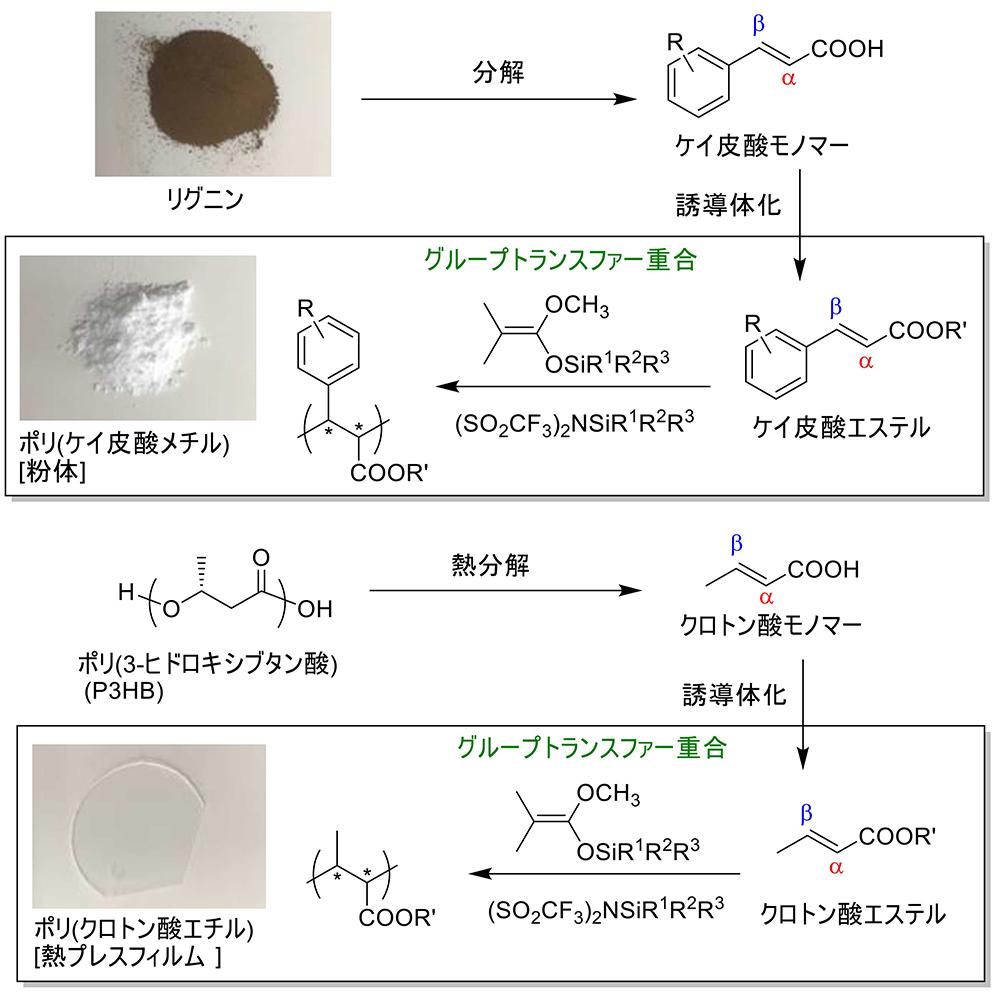 【バイオマス由来難重合性モノマーのGTP】(上)ケイ皮酸系ポリマー、(下)クロトン酸系ポリマー