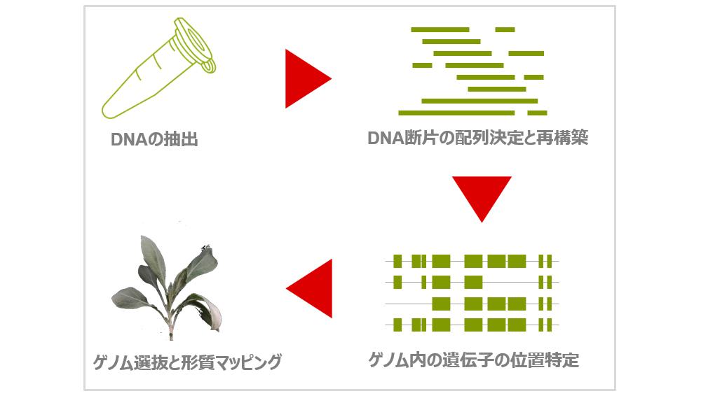 グアユールのゲノム解析:DNA配列解析~品種改良までのイメージ